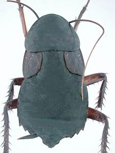 Blatta orientalis femelle