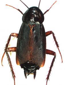 Blatta orientalis mâle