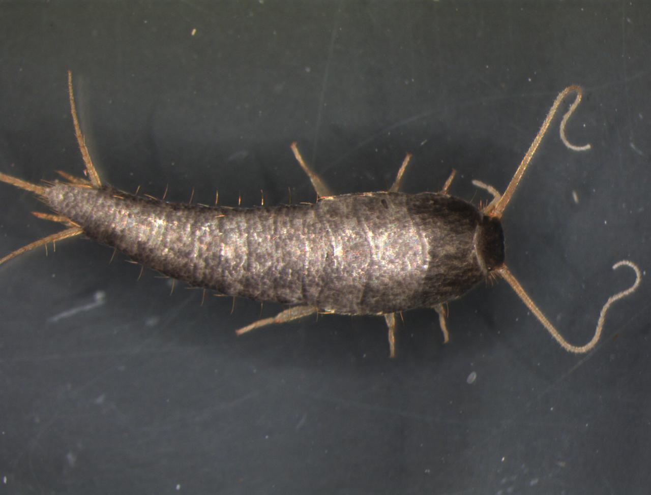 Insecte Salle De Bain Poisson D'Argent ~ zygentoma cicrp